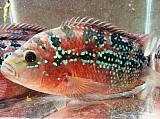 Flowerhorn Red - Electric Blue Jack Dempsey