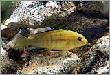 Labidochromis sp. yellow
