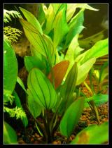 Echinodorus beauty red