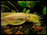ancistrus sp. gold long fin pozuje