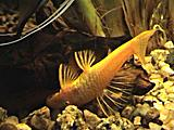 Ancistrus multispinnis gold - samice