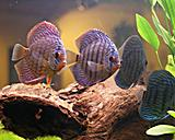Discus Red Tyrkys