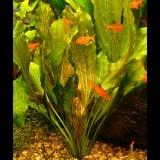 Echinodorus ocelot
